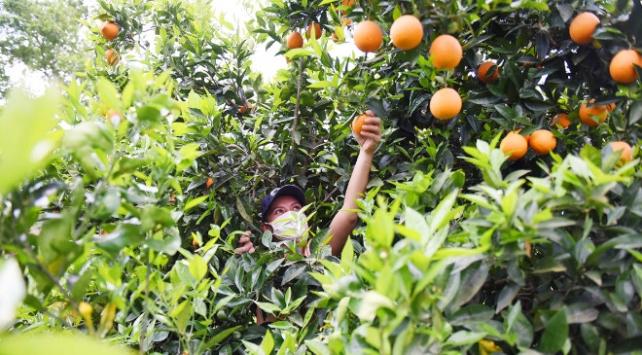300 kasa portakal ihtiyaç sahiplerine dağıtıldı