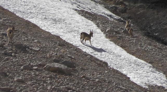 Munzur Dağlarında yaban keçileri görüntülendi