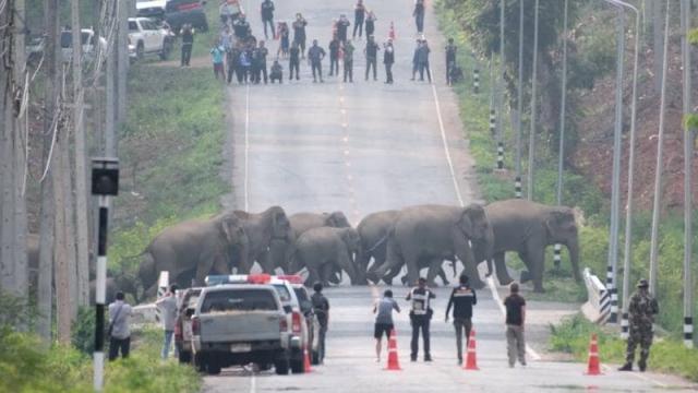 Tayland'da caddeyi basan fil sürüsü kamerada