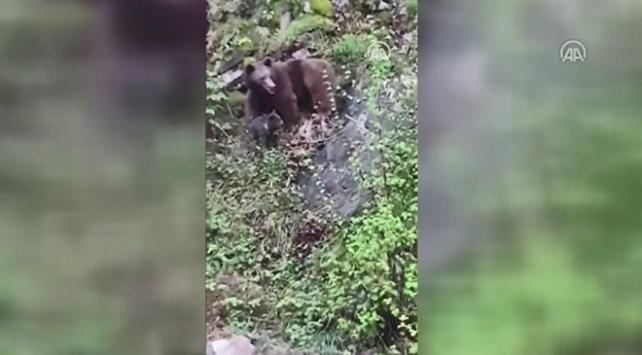 Rizede yola inen ayı ile iki yavrusu ilginç görüntüler oluşturdu