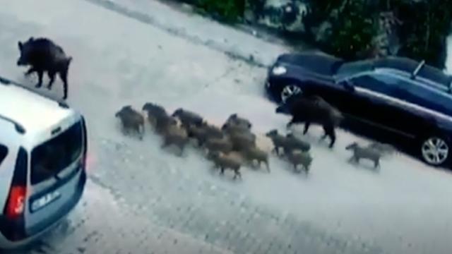 Aç kalan domuzlar Marmaris sokaklarında yiyecek aradı