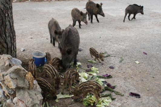 Bodrumda ilçe merkezine inen yaban domuzlarına gıdalı önlem