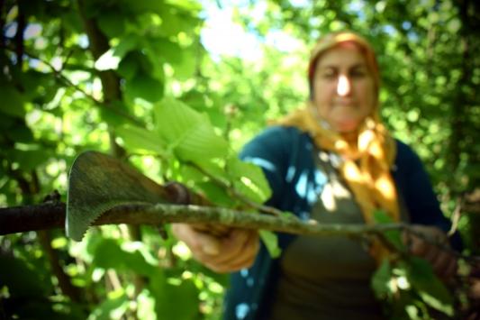 Batı Karadenizde fındık üreticileri verim artışı için bahçelerini bakıma aldı