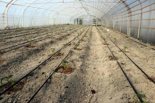 """Safranbolunun yerli domatesi """"maniye"""" tohumları toprakla buluştu"""