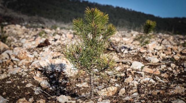 Yangından zarar gören 900 hektarlık alan yeniden yeşillendiriliyor