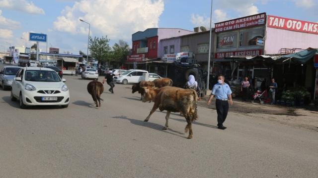 Başıboş inekler kaçtı, zabıta kovaladı
