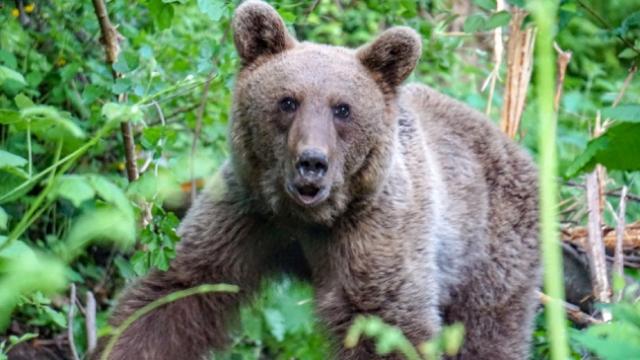 Uludağ'da domuz tuzağına yakalanan ayı kurtarıldı