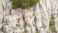 Giden Gelmez Dağları'ndaki keçiler koruma altında