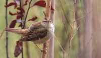Hersek Lagünü'nde 3 yeni tür kuş kayıtlara geçti