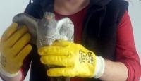Ordu'da bitkin halde bulunan guguk kuşu koruma altına alındı