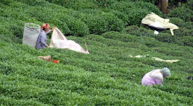 Giresuna çay hasadına gideceklere 14 gün uyarısı