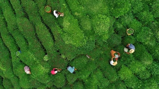 Trabzondaki çay hasadına 7 binden fazla başvuru