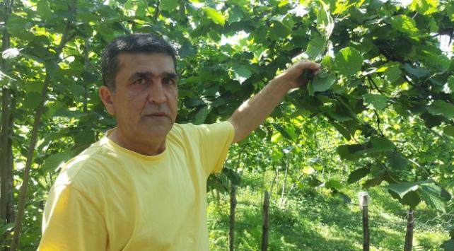 Karadenizde çayın ardından fındık hasadı endişesi