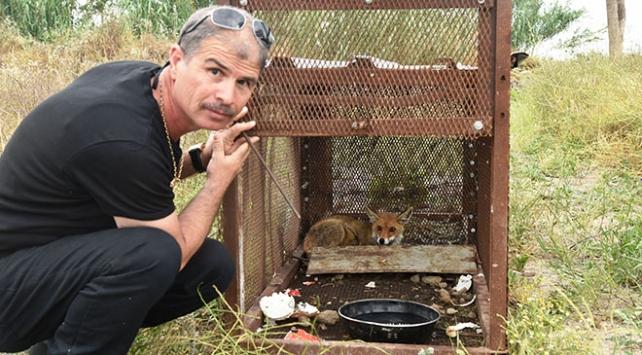 150 tavuğunu telef eden tilkiyi özel düzenekle yakaladı