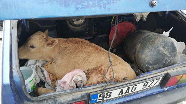 Sivas'ta kaza yapan otomobilin bagajından buzağı çıktı