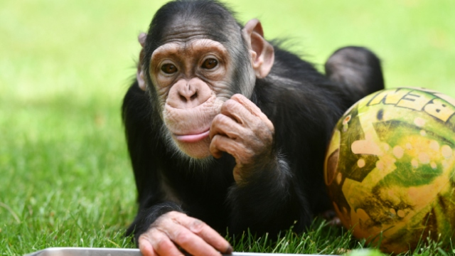 Şempanze Can da 2 aydır yuvasından çıkmadı
