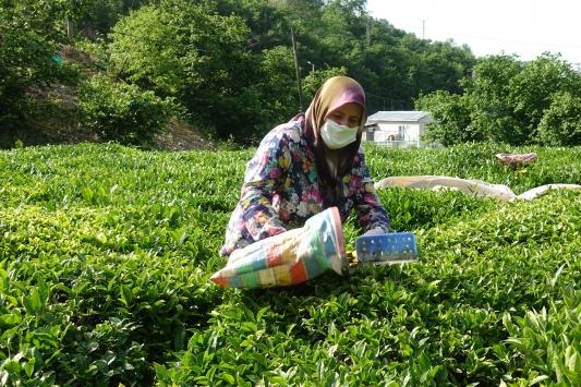 Hopada çay hasadı imece usulüyle yapılıyor