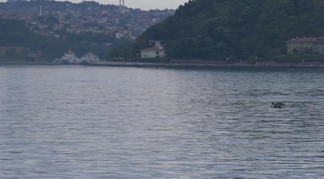 İstanbulda denizin tadını yunuslar çıkarıyor