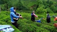 Rize'de bayramda tulum eşliğinde çay hasadı