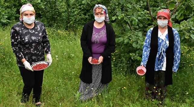 Kilosu 150 liradan satılan dağ çileği kadınlara kazanç oldu