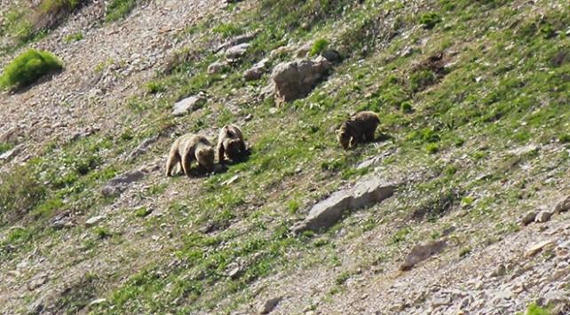 Ovacıkta bozayılar ve yaban domuzları görüntülendi