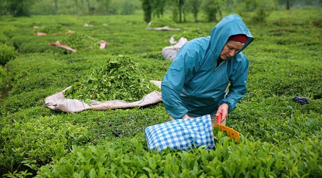 ÇAYKUR 65 bin ton yaş çay alımı yaptı