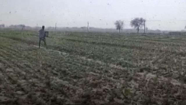 Hindistanlı çiftçilerin çekirge nöbeti sürüyor