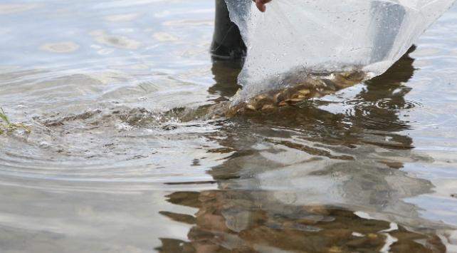 70 bin yavru sazan İznik Gölüne bırakıldı