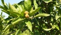 Afrika sıcakları narenciye ürünlerine zarar verdi