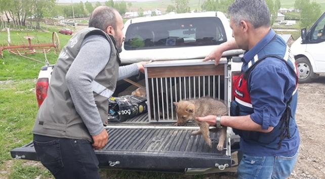 Kurtları öldürüp yavrularını sahiplenenlere 15 bin lira ceza