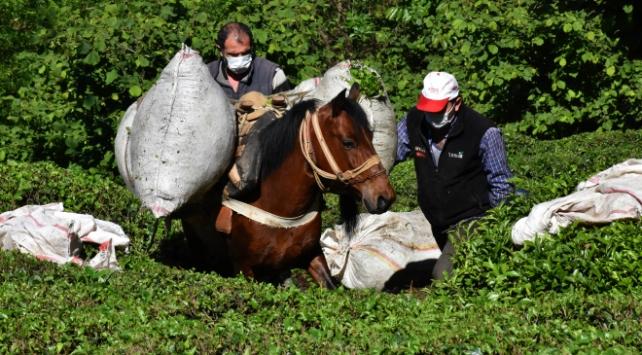 Ordulu fındık üreticileri imece usulü çay topluyor