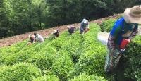 Koronavirüse yakalanan köylünün çayı imece usulüyle toplandı