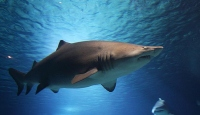 Avustralyalı sörfçü köpek balığı saldırısında öldü