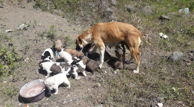 Toprağın altına yuva kazan köpek ve 14 yavrusuna hayvanseverler sahip çıktı