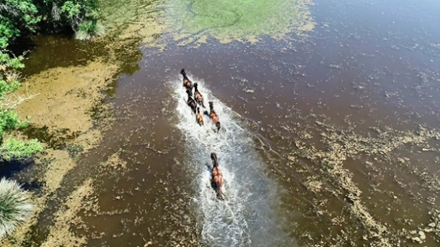 Karacabey Longozu'ndaki yabani atlar havadan görüntülendi