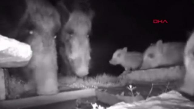 Düzce'de yavruları olan yaban hayvanları fotokapana takıldı