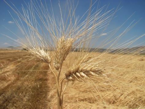 Gaziantepte makarnalık buğdayın hasadı başladı