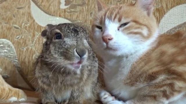 Tavşan yavrusunu anne şefkatiyle besleyen kedi
