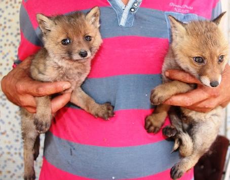 Amasyada yol kenarında bulunan iki kurt yavrusu koruma altına alındı