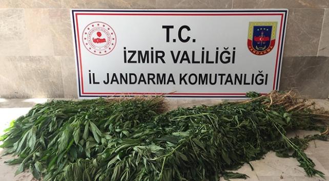 İzmirde 680 kök Hint keneviri ele geçirildi