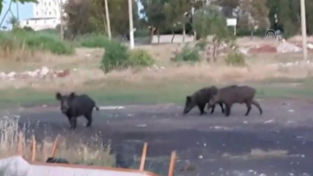 Ayvalık'ta domuzlar ilçe merkezine indi