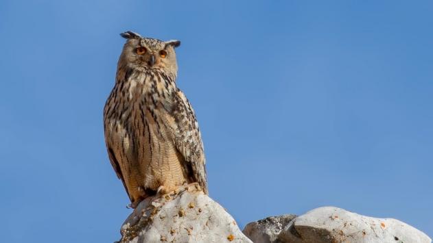 Çorumda puhu kuşunun yuva yaptığı taş ocağındaki çalışmalar durduruldu