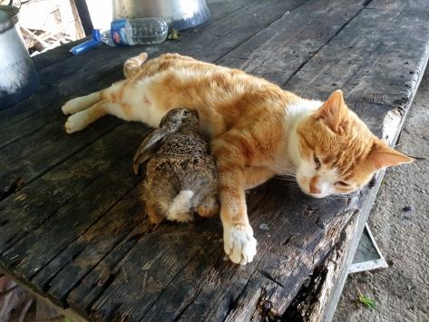 Osmaniyede bir ev kedisi tavşan yavrusuna annelik yapıyor