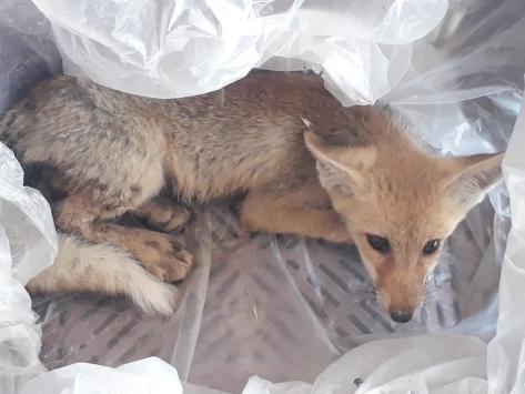 Aksarayda yaralı tilki yavrusu tedaviye alındı
