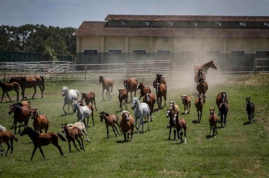 Şampiyon atların yetiştirildiği TİGEM haralarında 362 tay dünyaya gözlerini açtı