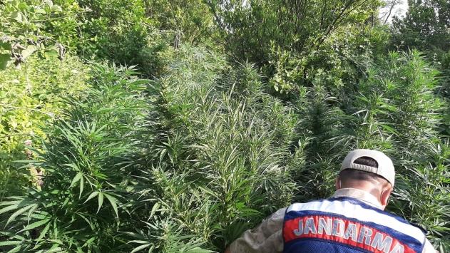 Osmaniyede ormanlık alana ekilen hint kenevirlerini narkotik köpeği buldu