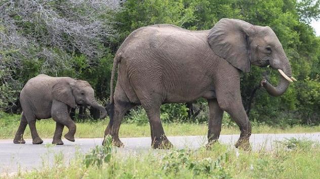 Botsvanada 3 ayda 154 fil ölü bulundu