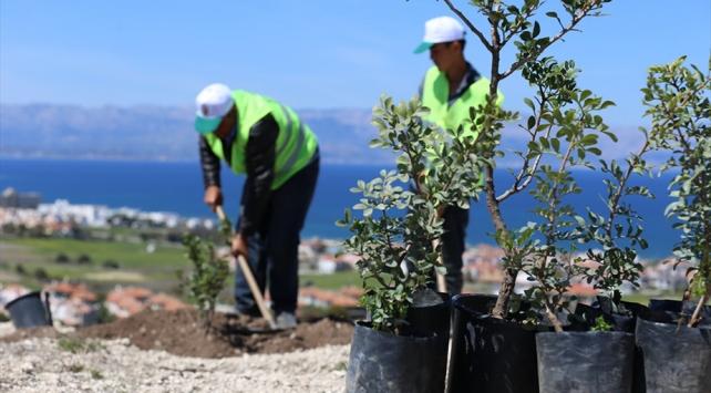 İzmirde son 5 yılda 90 bin sakız ağacı fidanı üretildi