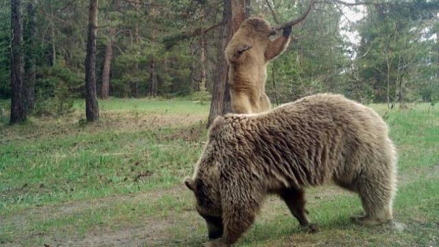 Sarıkamış ormanında kaşınan ayılar güldürdü