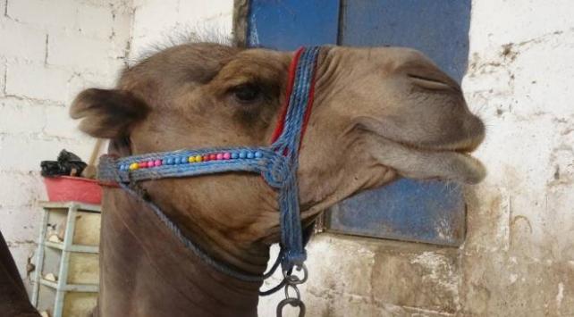 Kurbanlık deve fiyatı 12 bin liradan başlıyor